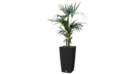 Bodengefäß 30 x 30 cm / H 55 cm – mit Kentia-Palme