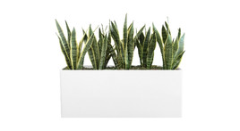 Filling of planter boxes - Sansevieria and moss covering
