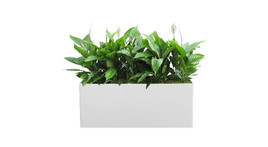 Filling of planter boxes - Peace lily and moss covering