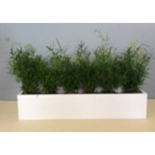 Bepflanzung mit Asparagus falcatus