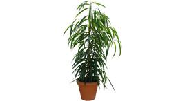 Ficus allii