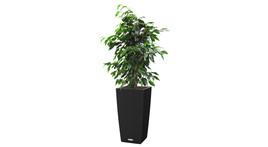 Bodengefäß 30 x 30 cm / H 55 cm – mit Ficus benjamina, Busch