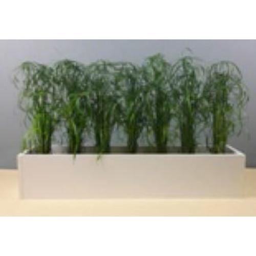 Bepflanzung mit Cyperus alternifolius