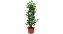 Ficus benjamina Busch