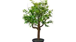 Citrus-Baum